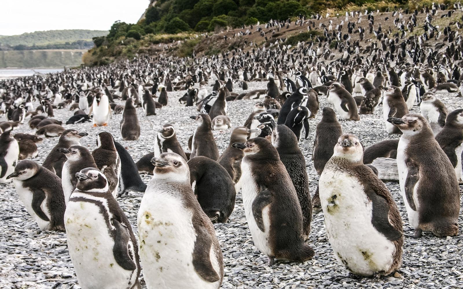 temporada de pingüinos en Ushuaia