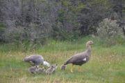 Cauquenes en el Parque Nacional Tierra del Fuego